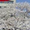 DJI Phantomで散り際の桜を撮影してみた。