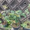 鉢植えのバラたち