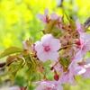 河津桜と母。末期の肺ガンに侵された母にパワーを与えてくれた河津桜。