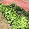 玉レタス収穫