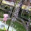 亀戸天神の藤の花とピンクのポケモンたち【ポケモンGOAR写真】#NoFilterARFriday
