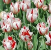 "<span itemprop=""headline"">植物園の桜展とチューリップ、芝桜とドキュメント</span>"
