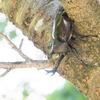 カブトムシを呼びよせる 樹液採集以外のとり方