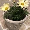 優しい雰囲気のマーガレット・フェアリーダンスはシンプルに白い鉢に植える事にしました。