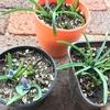ムスカリとチューリップの芽