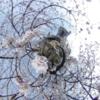 門前仲町 川沿いの桜 THETA撮影写真です! #360pic