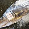 2019年8月13日 小浜漁港 お魚情報
