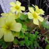 3月中旬 わが家の花たち