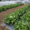 結球レタス・ブロッコリー・キャベツ・ダイコンの収穫開始。果菜類を定植しました。(^o^)
