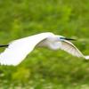🐦野鳥の回【75】舞いとポーズ(白&青サギ、カワウ、ハシボソガラス)