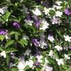 ニオイバンマツリ、ハコネウツギ、そしてスイカズラの花たち