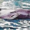新江ノ島水族館、イルカ誕生…JAZA退会後初