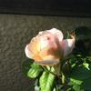 バラ開花♡ヴィトンリペアの具合