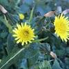 ノゲシとオニノゲシの花