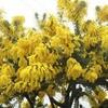 満開のミモザと春の息吹