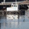 漁港のキンクロハジロ