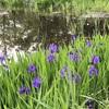 石神井公園の藤とカキツバタ