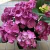 今年買った紫陽花