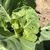 キャベツにイモ虫、やむなく農薬散布