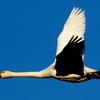 印西市本埜上空を飛ぶコハクチョウ