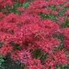 【鎌倉いいね】彼岸花の赤い絨毯。その歴史を知る。そして動画で見て欲しい。