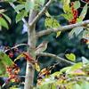 コブシの赤い実を食べるキビタキ