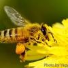 ミツバチの花粉団子