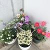 【自然とふれあう】ベランダのお花たち