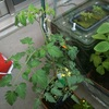 春の強風にミニトマトの一部がダメージ、、気をつけよう。