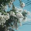 サルスベリの白い花を見つけた