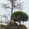 東 亜希ちゃんが サブちゃんの歌:函館の女 を歌う。