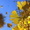 公園では青空に銀杏が鮮やかです