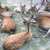 奈良の鹿の餌 奈良公園の鹿さんに鹿せんべい以外は上げないでください