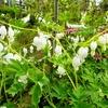植物園の宿根草たち