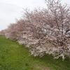 名もない堤防の桜の名所