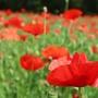 済州島(チェジュ島)初夏のフォトスポット #ポピーと蕎麦の花が咲く「ハンパドゥリ抗蒙遺跡地」
