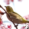 【メジロ】新しい春が来た
