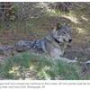 14,000㎞の旅に疲れ果て死亡したオオカミ「OR-54」の話