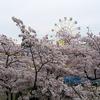 神戸でも今週末は桜の見頃かも。で、行きたい花見スポットをご紹介。