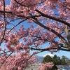 【四季を訪ねて】 松田山・西平畑公園 「河津桜」 ~ ひとあし早い春景色