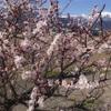 今日の風景、梅の花が満開です【長野県大町市】