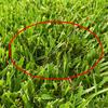 2週間振りの芝刈&ほこりかび病 大発生