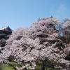 「真田丸」の上田城でお花見