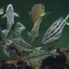 シマイサキRhyncopelates oxyrhynchus