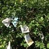 日没前リンゴ袋かけをしているとヤダ、ハチの巣?と男女ペアが警戒するyo