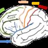 脳回の解剖