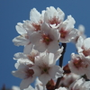 2018年3月23日の福山城裏に咲く桜