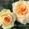 """【庭】Rosa.min """" Peach Kordana """""""
