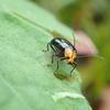 カボチャやキュウリなどにもやってくる黒い虫 クロウリハムシ