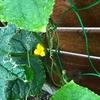 【秋どれ胡瓜】花が咲きました^^ ウリハムシの追加対策